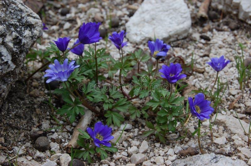Stäng sig upp av purpurfärgade violetta blommablåsippanobilis, den gemensamma blåsippan, liverworten, kidneywort, pennywort, anem arkivfoto