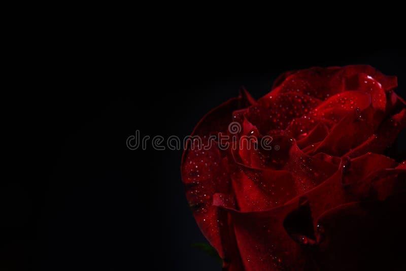 Stäng sig upp av röd ros med dramatisk belysning på svart bakgrund arkivfoton