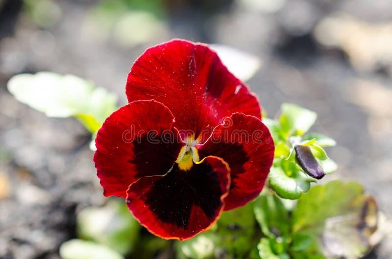 Stäng sig upp av röda pansies som växer i trädgården royaltyfri fotografi
