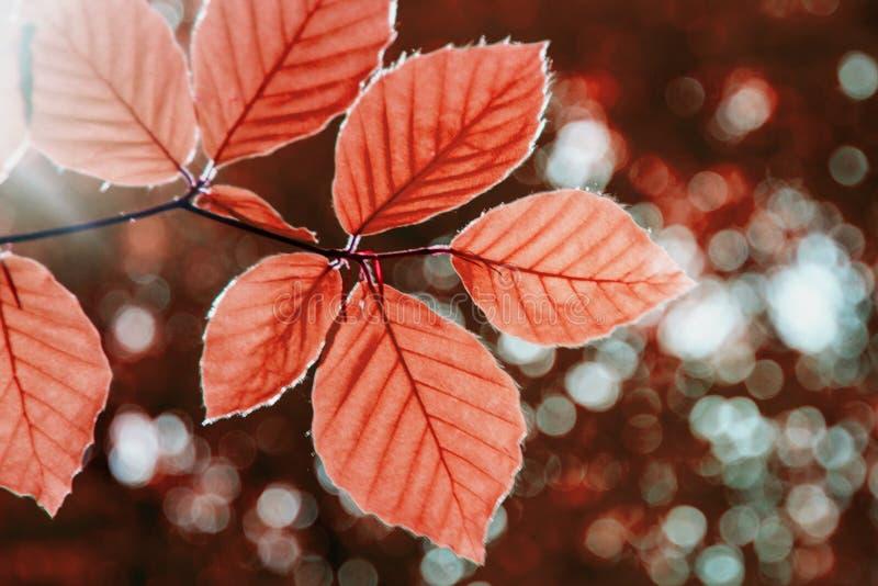 Stäng sig upp av röda trädsidor H?rlig h?stskogbakgrund royaltyfri fotografi