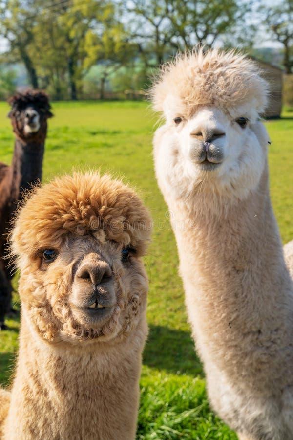 Stäng sig upp av roliga seende alpacas på lantgården royaltyfri bild