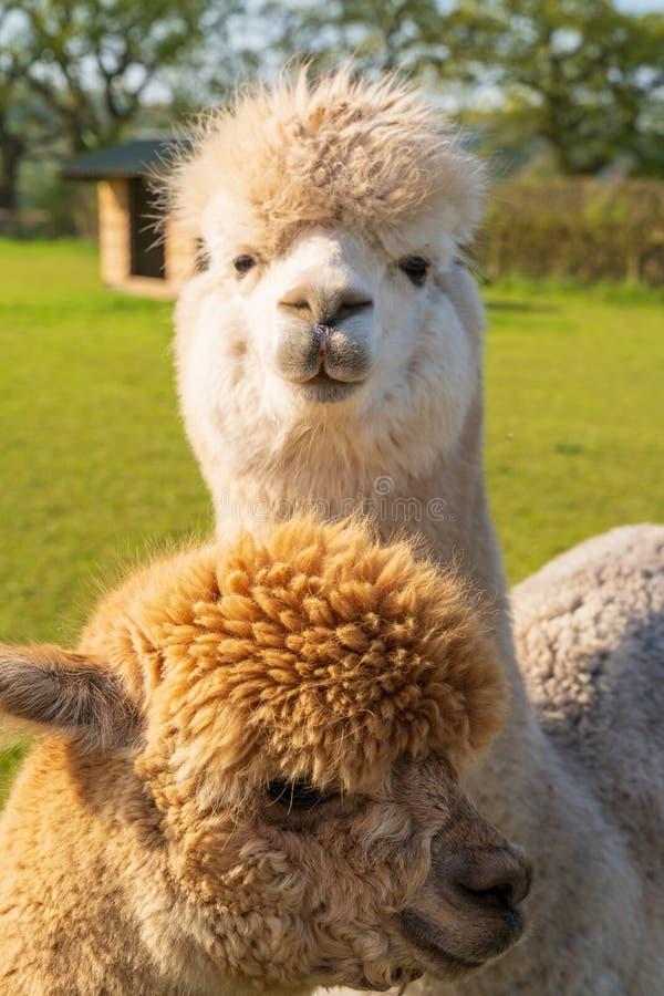 Stäng sig upp av roliga seende alpacas på lantgården royaltyfri foto