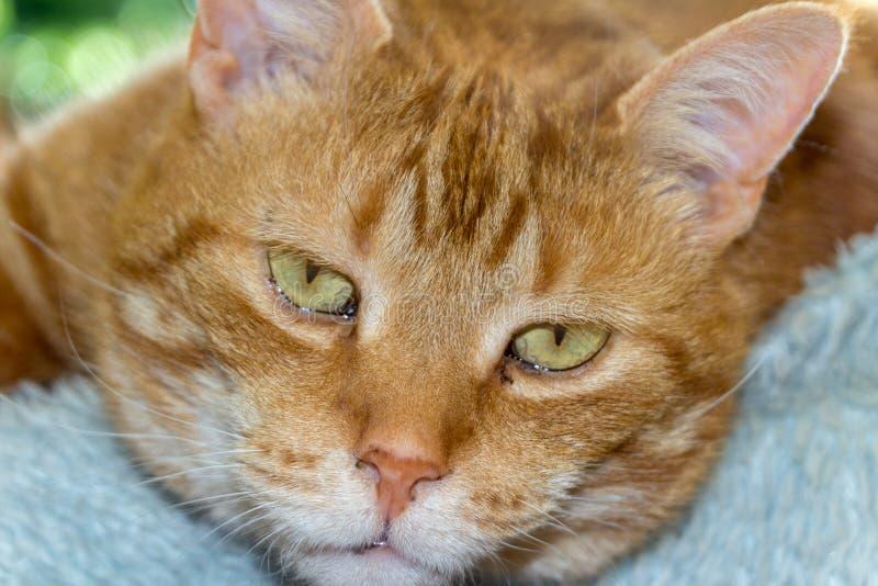 Stäng sig upp av sömnig katt på den blåa sittkudden royaltyfri foto