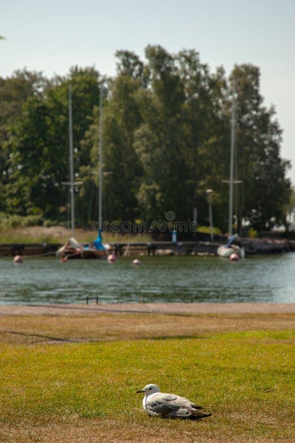 Stäng sig upp av seagullen som ligger på en gräsmatta royaltyfria foton