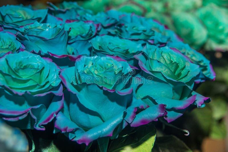 Stäng sig upp av selektiv fokus av gruppen av bicolor blommor med purble färg, och blått, förbättras några genetiskt eller royaltyfri foto