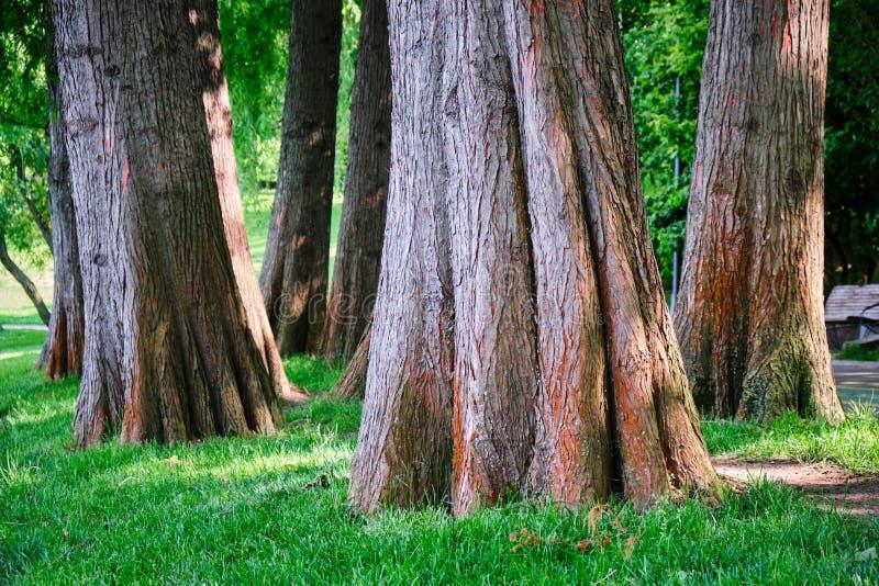 Stäng sig upp av skallig cypress för Taxodiumdistichum, träd somstammar nära en sjö i stads- parkerar Dessa är lövfällande barrtr fotografering för bildbyråer