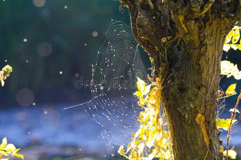 Stäng sig upp av skinande spindelrengöringsduk på skället för trädstammen med ljusa glödande sidor i suddig blå bakgrund för höst royaltyfri bild
