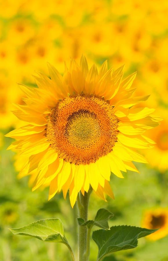 Stäng sig upp av solrosen, grund fokus royaltyfri bild