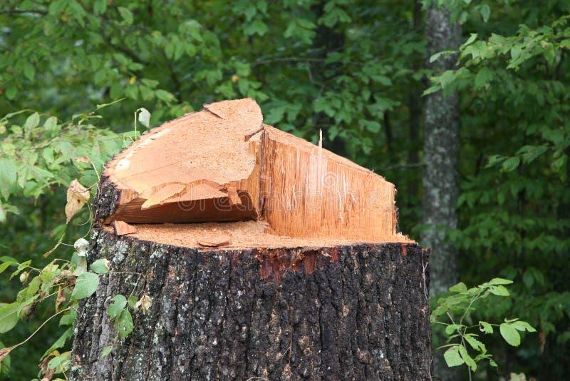 Stäng sig upp av som huggas av nytt ner träd royaltyfria foton