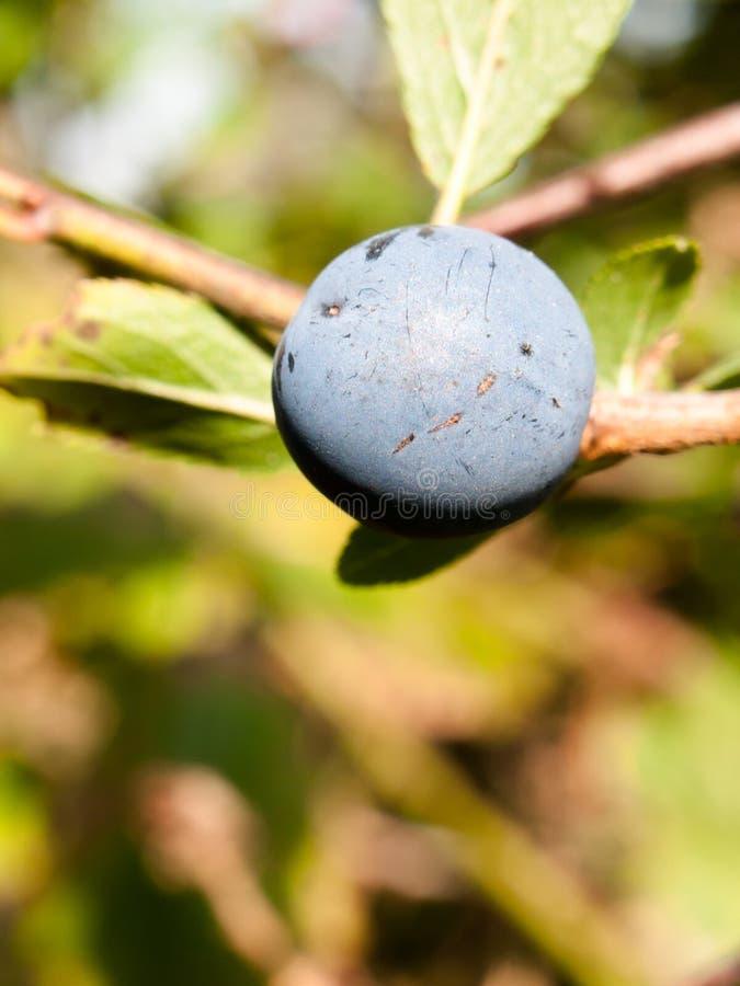Stäng sig upp av spinosa för prunus för filial för stort blått slånbär lös arkivfoto