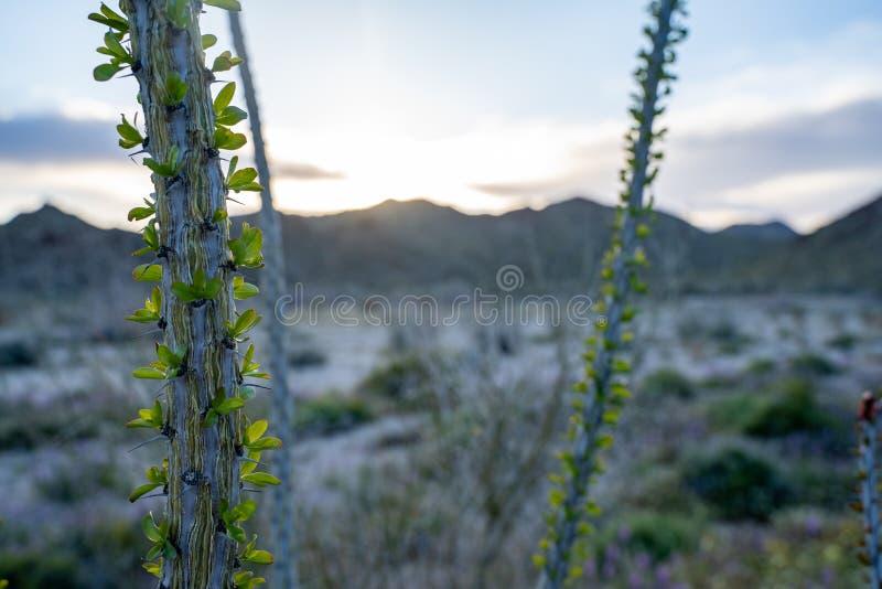 Stäng sig upp av sprickande ut splendens för en OcotilloväxtFouquieria i Joshua Tree National Park i Kalifornien under solnedgång arkivfoton