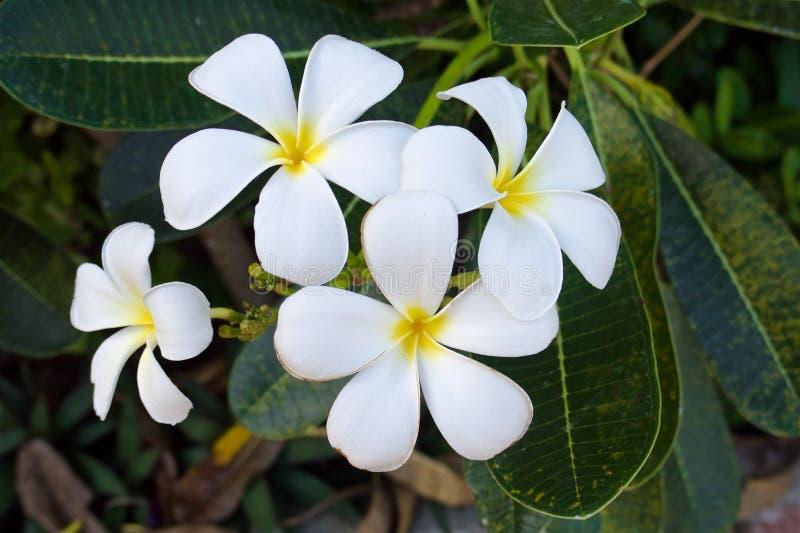 Stäng sig upp av thai tropiska vita och gula plumeriablommor royaltyfria foton