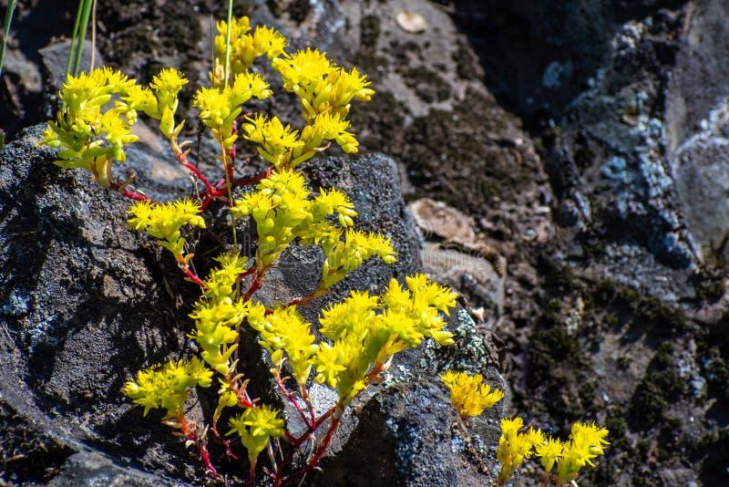 Stäng sig upp av toppiga bergskedjan åtlöjefetknopp den Sedella som pumilaen som blommar på basaltet, vaggar av ekologisk reserv  arkivbild