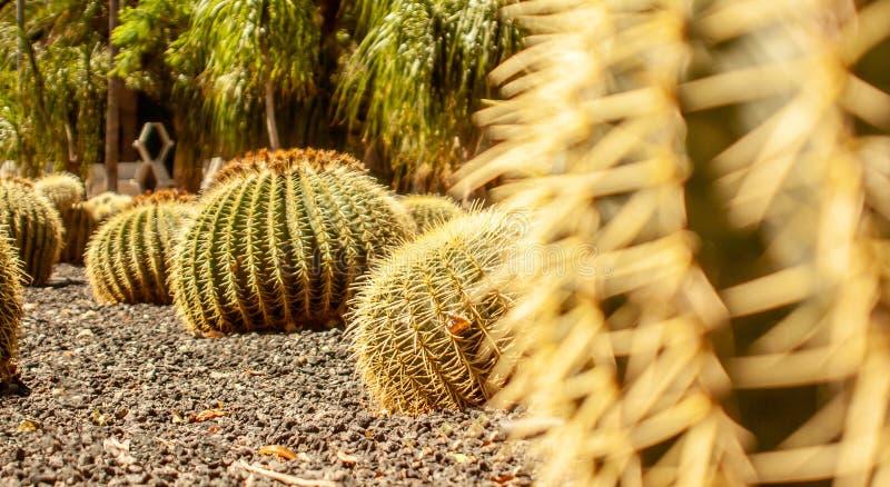 Stäng sig upp av torr kaktusskog arkivbild