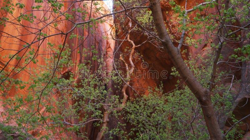 Stäng sig upp av träd och vaggar inom berget i Zion National Park Utah royaltyfri bild