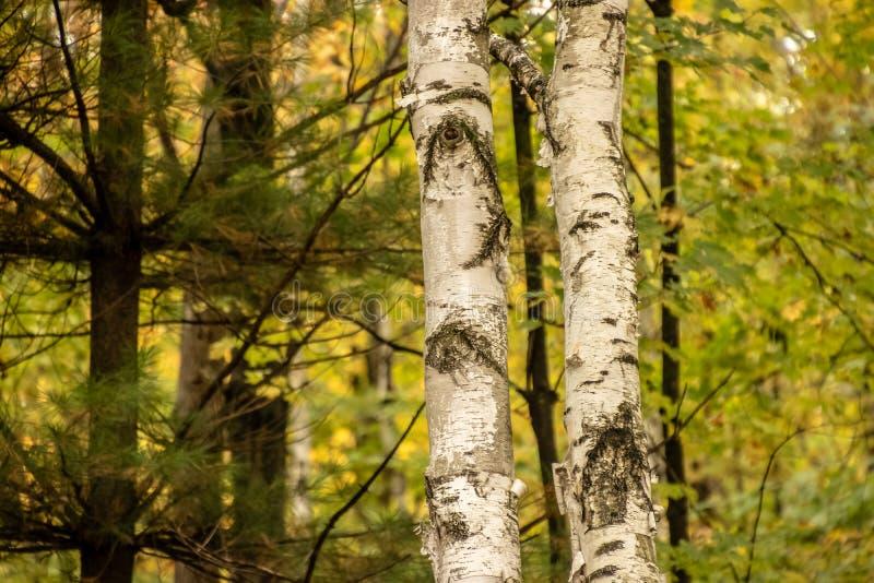 Stäng sig upp av två björkträd som stjäler showen i norr trän för arkivfoto