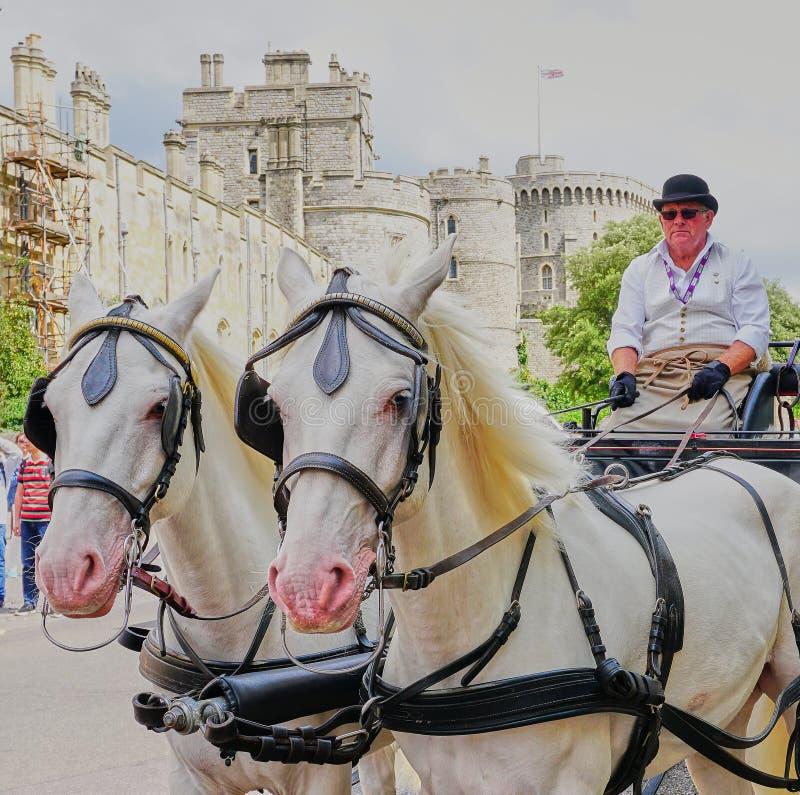 Stäng sig upp av två kungliga vita hästar, vagn och chaufför på Windsor Castle arkivfoto