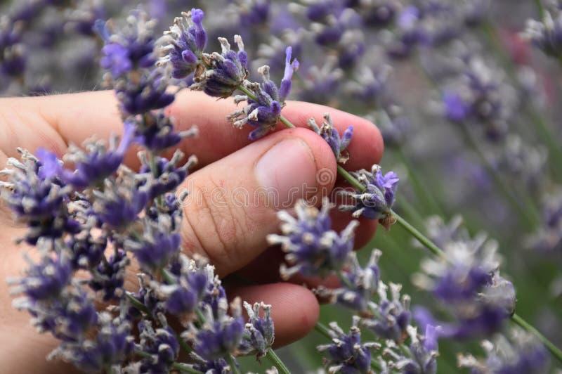 Stäng sig upp av val av aromatisk lavendel i trädgården royaltyfri foto