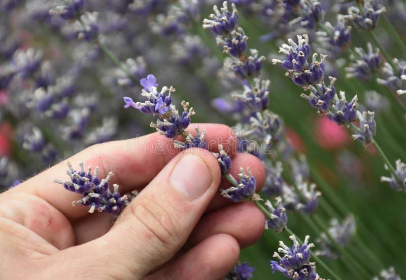 Stäng sig upp av val av aromatisk lavendel i trädgården arkivfoto