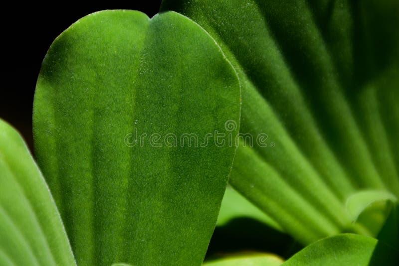 Stäng sig upp av vattengrönsallat, gröna kronblad av vattengrönsallat, härlig naturbakgrund arkivfoto