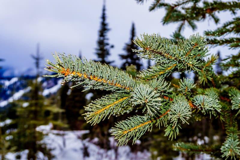Stäng sig upp av visarna på ett blått prydligt barrträdträd arkivbild
