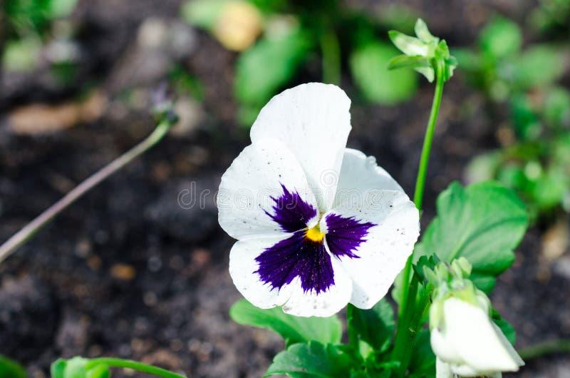 Stäng sig upp av vita pansies som växer i trädgården arkivbild