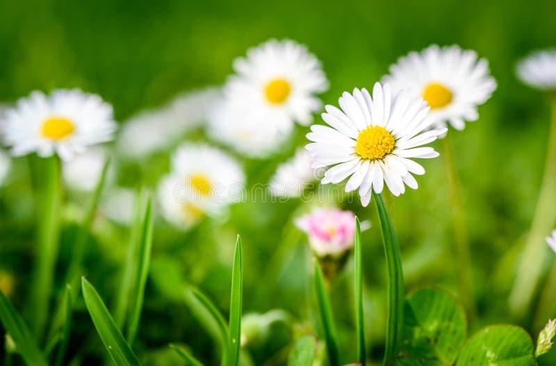 Stäng sig upp av vita tusenskönor på grönt gräs för vårängen royaltyfri foto