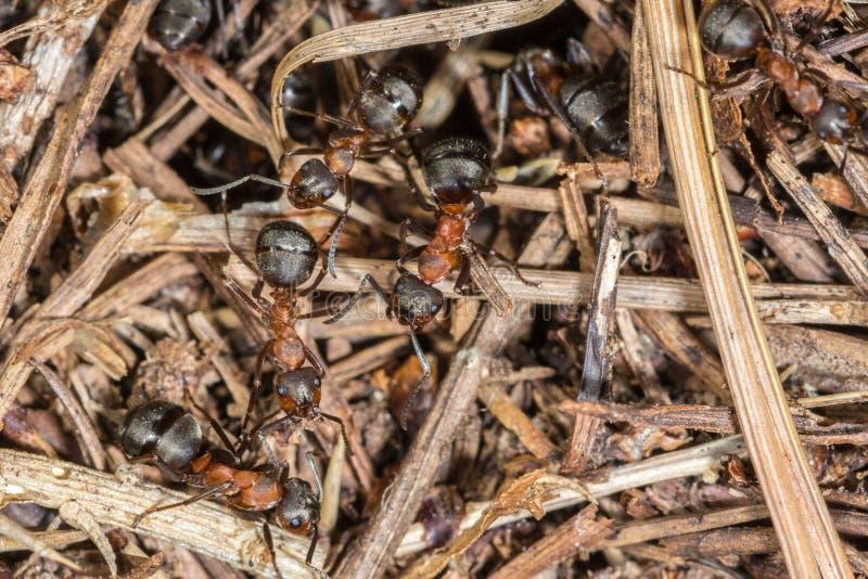 Stäng sig upp av Wood myror (Formica- rufa) som arbetar på deras rede arkivfoto