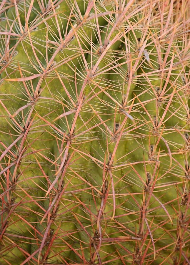 Stäng sig upp bild av en Arizona metkrokkaktus arkivfoton