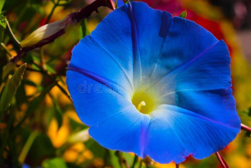 Stäng sig upp blå blomma i trädgård arkivfoton