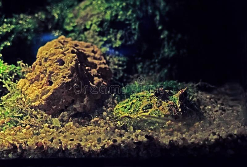 Stäng sig upp den argentinska Horned grodan eller den Pacman grodan på naturen Backgrou royaltyfri bild
