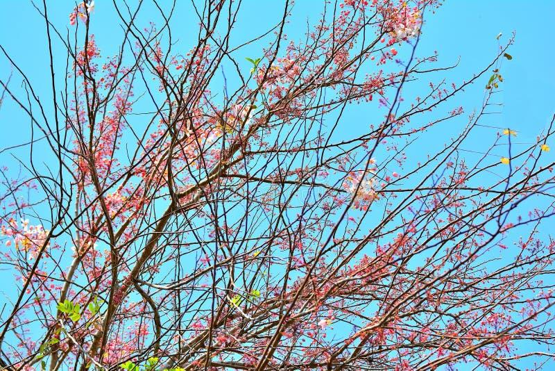 Stäng sig upp den lösa Himalayan körsbäret på filialträd royaltyfria foton