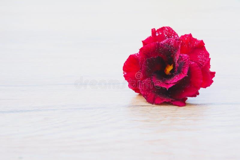 Stäng sig upp den röda rosen, röd blomma på trätabellbakgrund royaltyfria bilder