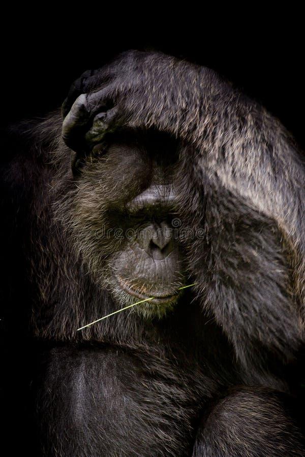 Stäng sig upp den ståendeCutie gorillan som isoleras på svart monokrom por arkivfoton