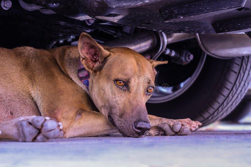 Stäng sig upp den thai hunden som ligger på golvet fotografering för bildbyråer