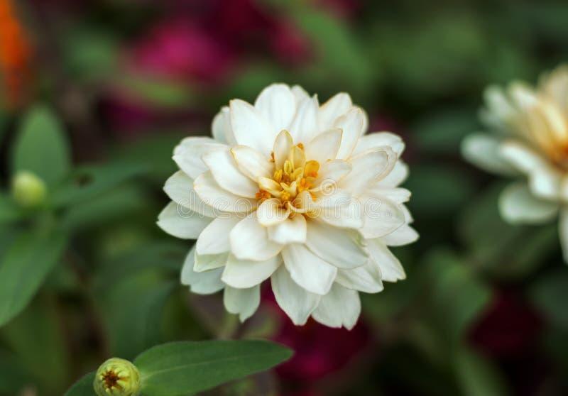 Stäng sig upp den vita blomman arkivfoto