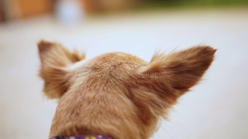 Stäng sig upp en brun liten chihuahuahund arkivbilder