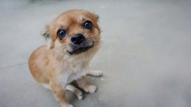 Stäng sig upp en brun liten chihuahuahund royaltyfria bilder