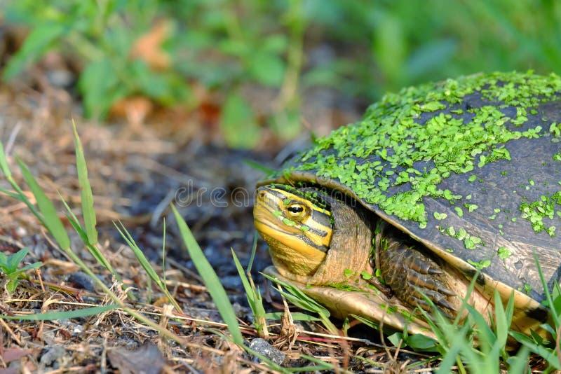 Stäng sig upp en framsida av den asiatiska asksköldpaddan som går i en grön trädgård royaltyfria bilder