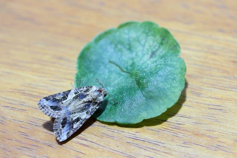 Stäng sig upp en härlig mal som sätta sig det gröna bladet på trät arkivbild