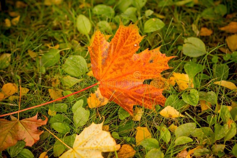 Stäng sig upp färgrika röda färger och grön färg, höst med lönnlövnedgången i mossagräsgräsmattan Säsongändring Natur fotografering för bildbyråer