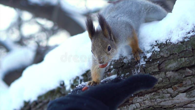 Stäng sig upp för den gråa ekorren som försiktigt tar muttern från den mänskliga handen på en snöig trädfilial i vinter Ekorre so arkivfoton