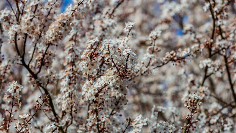 Stäng sig upp filialerna av en oavkortad blom för körsbärsrött träd med dess vita blommor royaltyfri bild