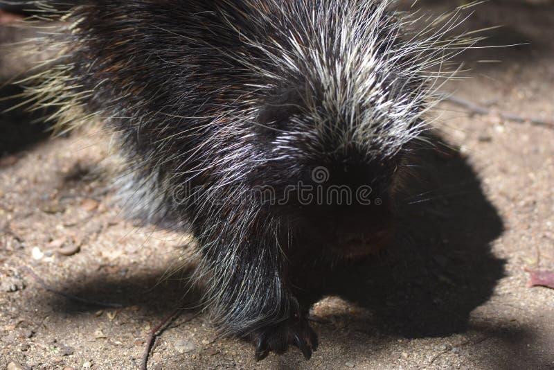 Stäng sig upp fotoet av svart gå för ett piggsvin arkivbild