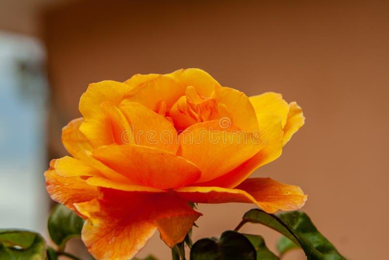 Stäng sig upp från en fantastisk orange blomning arkivfoto