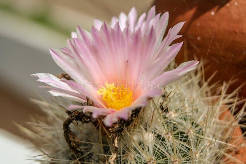 Stäng sig upp från en rosa kaktusblomning arkivbilder