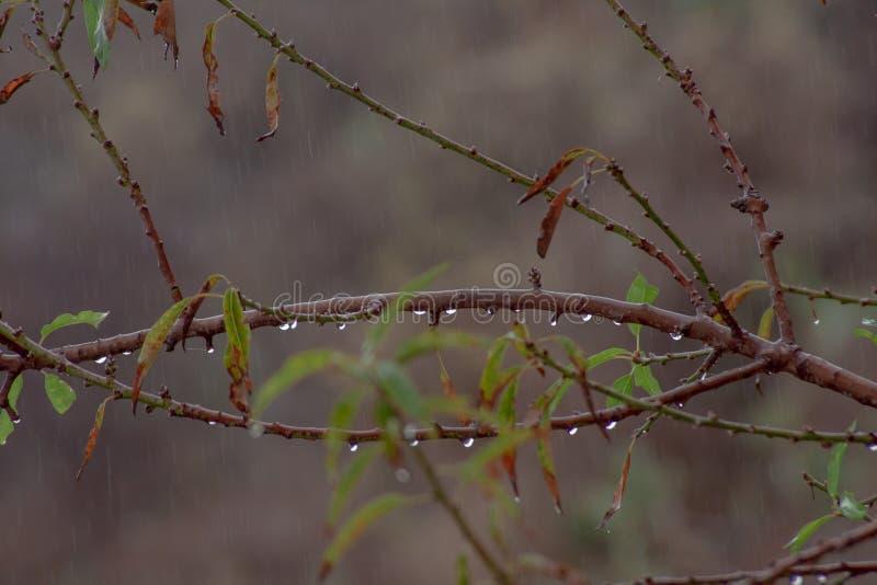 Stäng sig upp från mandeln med regndroppar royaltyfria foton