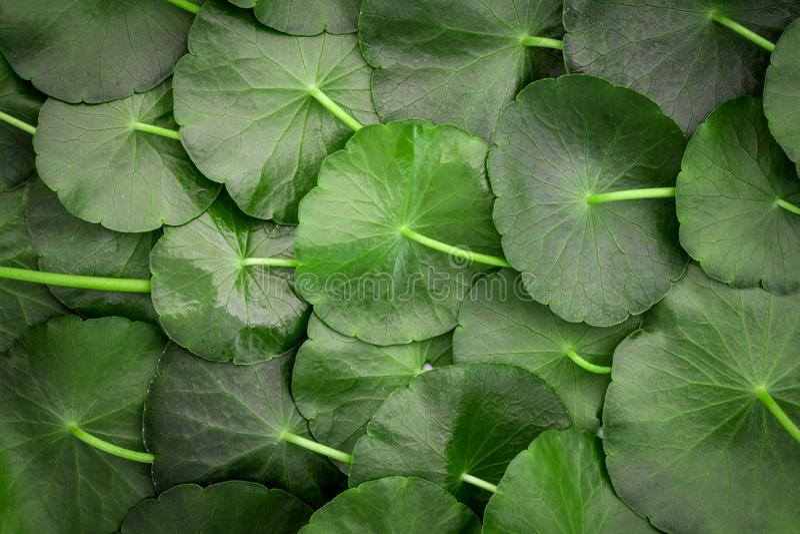 Stäng sig upp garneringen för cirkelgräsplanbladet som abstrakt grön bakgrund från asiatica Centella, ny örtväxtbakgrund royaltyfria foton