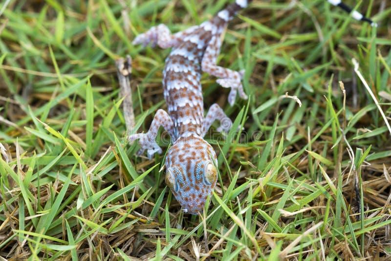 Stäng sig upp gecko på gräsmatta, många orange färgprickar fördelar på blått sk royaltyfri foto