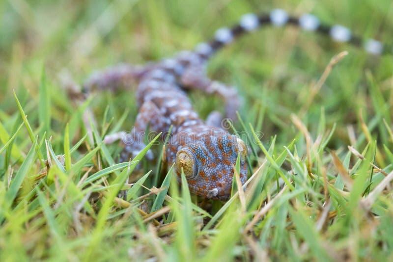 Stäng sig upp gecko på gräsmatta, många orange färgprickar fördelar på blått sk royaltyfria foton